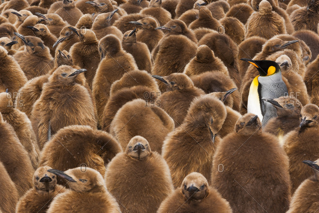 A colony of King Penguins, Aptenodytes patagonicus. Fledgling chicks with brown fluffy coats, standing in large groups, with some adults among them.