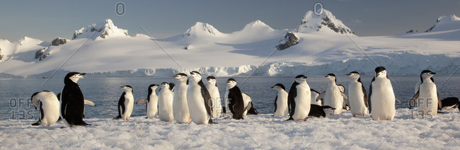 Chinstrap penguins on Half Moon Island, South Shetland Islands, Pygoscelis antarcticus,