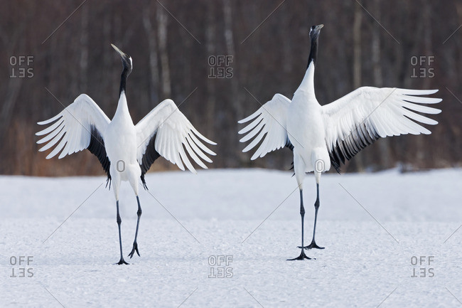 Japanese cranes upright, spreading their wings and preening on a frozen lake in Hokkaido, Japan