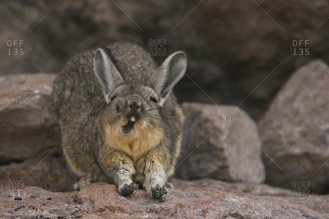 A mountain viscacha yawns as he stretches his front legs on the Salar de Uyuni.