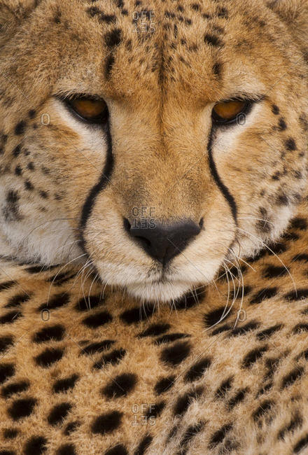 A Cheetah, Acinonyx jubatus, a close up of the face and spotted fur markings.