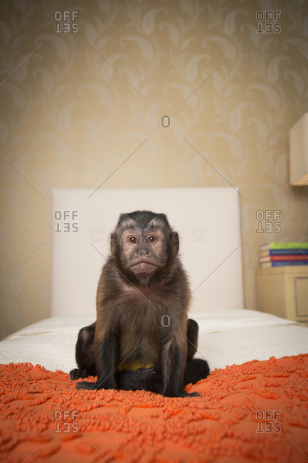 A capuchin monkey seated on a bed in a bedroom. An orange coverlet.