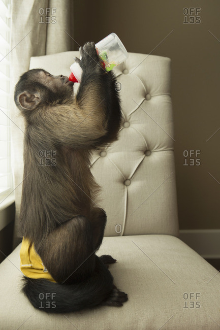 A capuchin monkey in a bedroom seated on a chair, drinking from a bottle