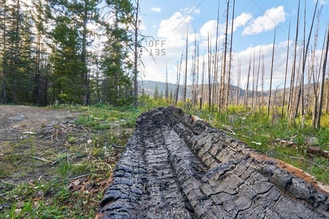 Dead wood in Okanogan-Wenatche National Forest, Washington