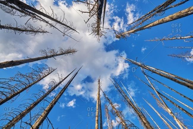 Dead trees in Okanogan-Wenatche National Forest, Washington