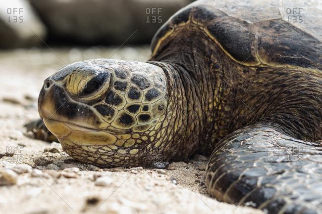 Hawksbill sea turtle lying on beach, close-up