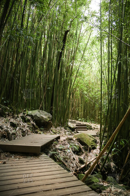 Boardwalk path in bamboo forest