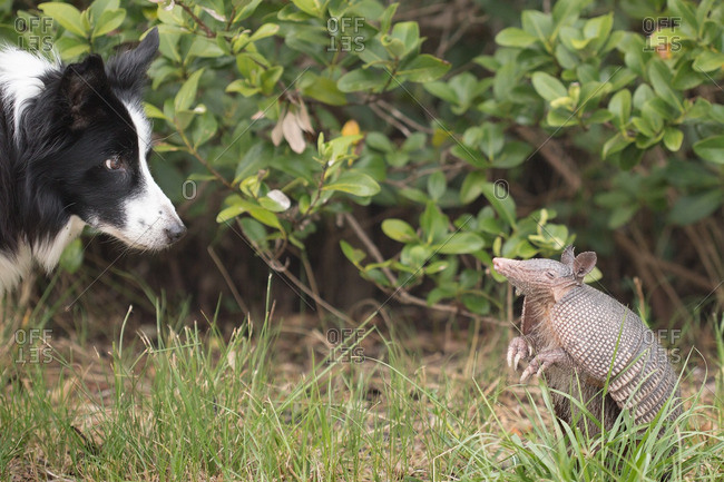 Dog and armadillo looking at each other