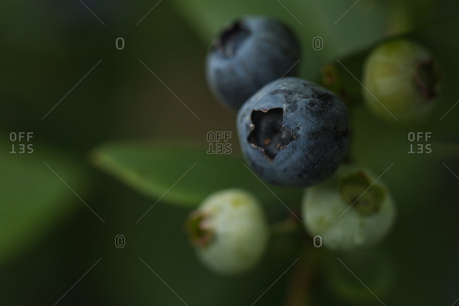 Blueberries in close up on bush