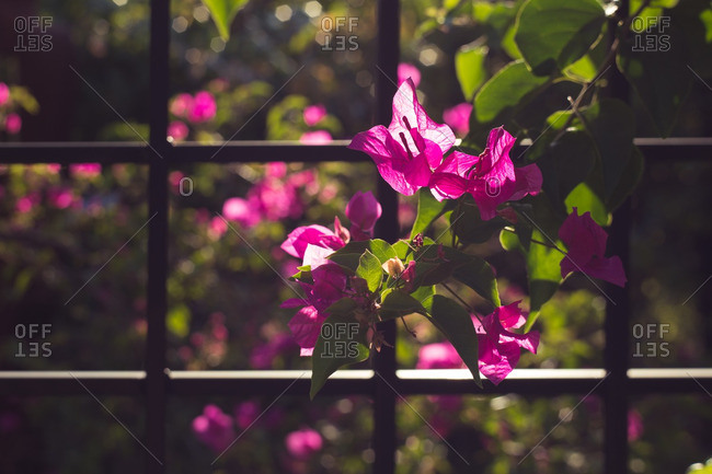 Bougainvillea growing along iron fence