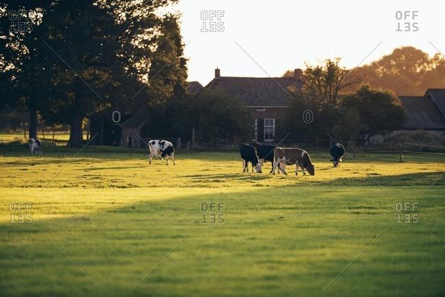 Dutch farm with farmland and grazing cattle, Geesteren, Achterhoek, Gelderland, The Netherlands