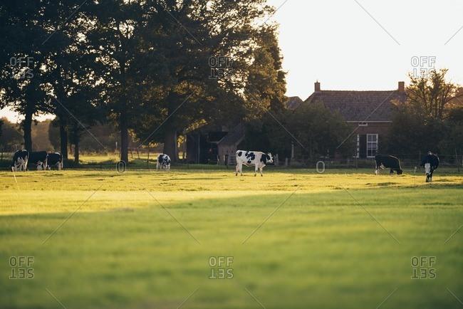 Dutch farm and grazing cattle, Geesteren, Achterhoek, Gelderland, The Netherlands