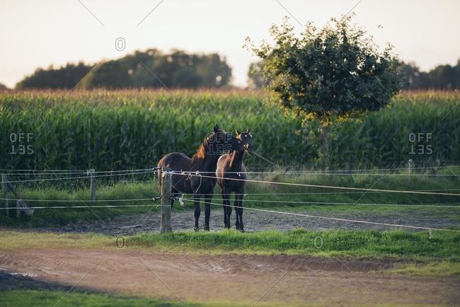 Two horses playing with wooden beam behind a fence, Geesteren, Achterhoek, Gelderland, The Netherlands