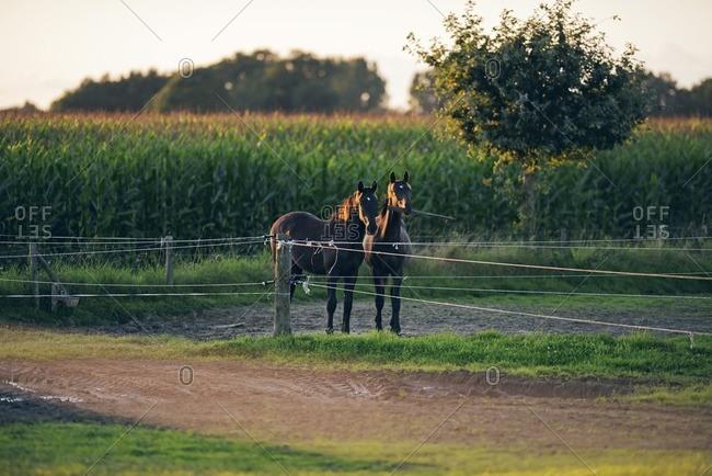 Two horses playing with wooden beam in a muddy field, Geesteren, Achterhoek, Gelderland, The Netherlands