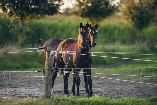 Two horses standing behind electric together, Geesteren, Achterhoek, Gelderland, The Netherlands
