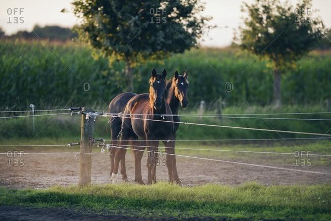 Two horses standing behind electric, Geesteren, Achterhoek, Gelderland, The Netherlands