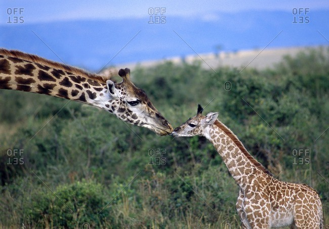 Mother and child giraffe touching noses on a grassland