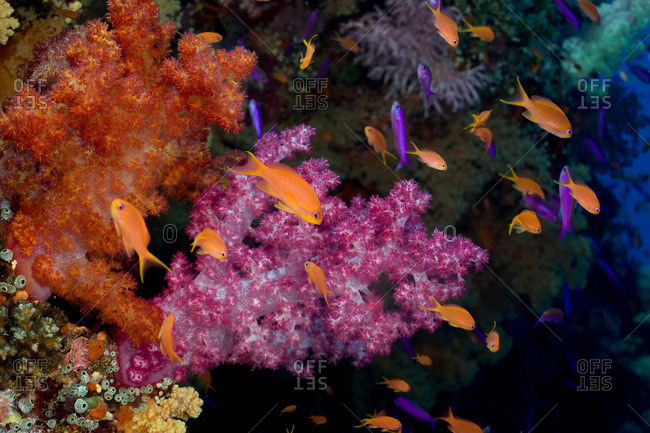 Anthias and soft coral