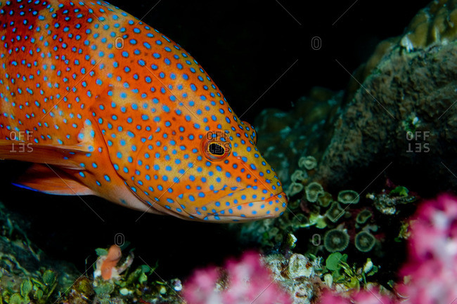 Coral Grouper close-up - Offset Collection