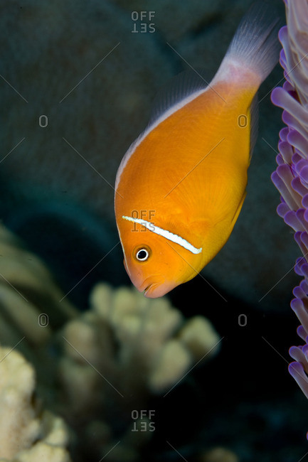 Close-up of anemone fish