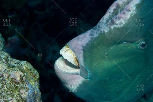Close-up of Bumphead parrotfish