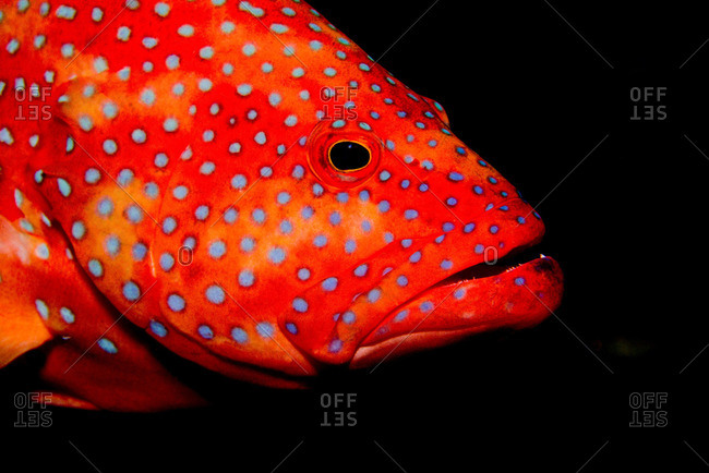 Close-up of coral grouper - Offset