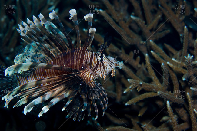 Lionfish on the reef