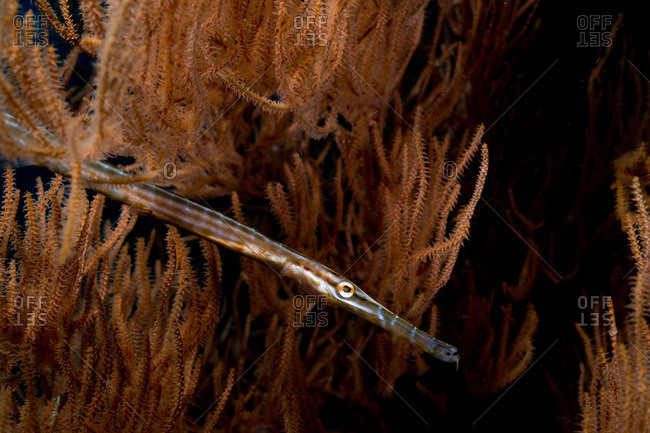 Trumpetfish in gorgonian - Offset Collection