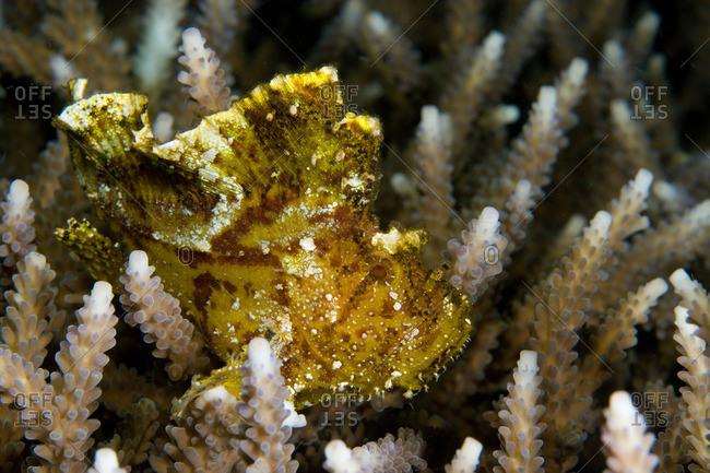 Leaf scorpionfish on coral