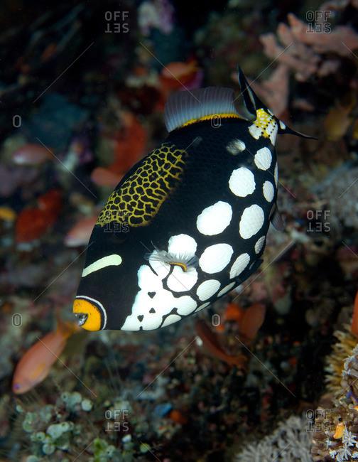 Close up of Clown triggerfish