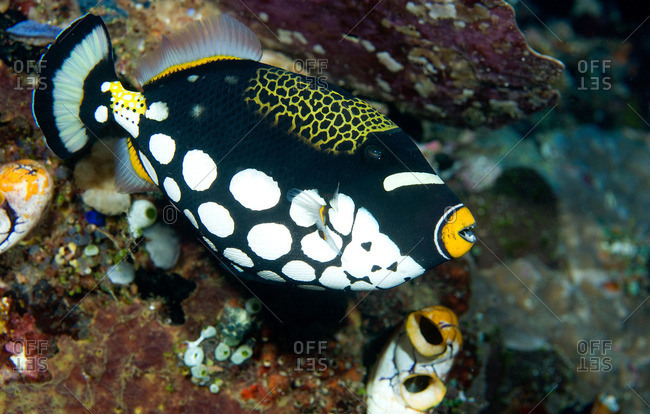 Close up of Clown triggerfish