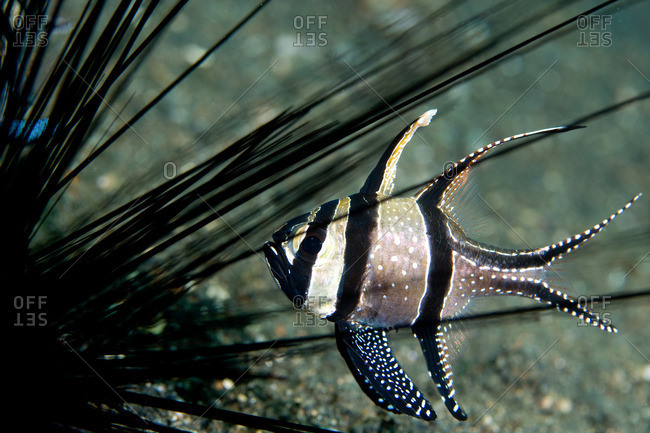 Cardinal fish and sea urchin