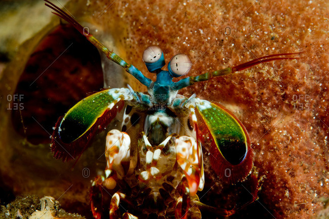 Close-up of Mantis Shrimp