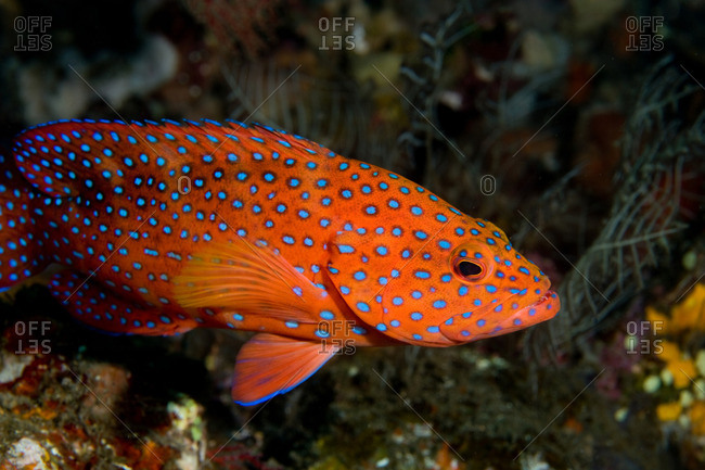 Profile of coral grouper - Offset