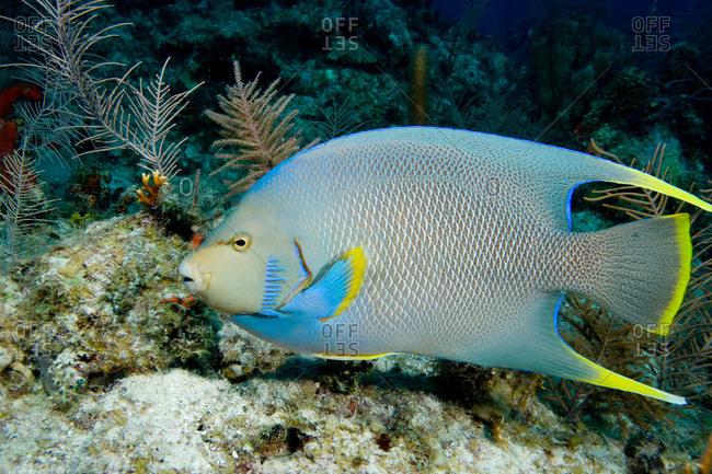 Blue angelfish on coral reef