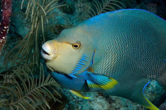 Blue angelfish on reef