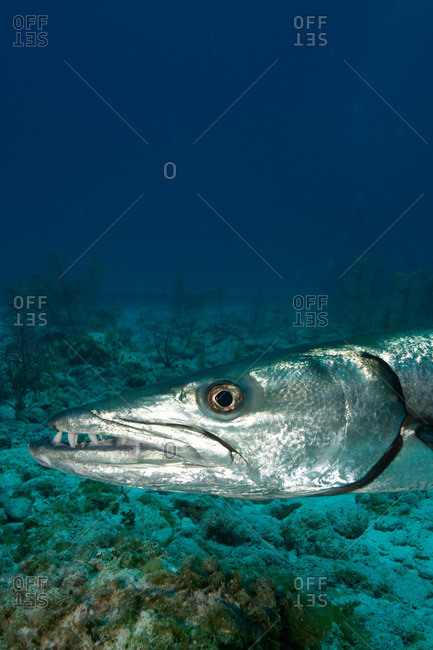 Close-up of Great barracuda