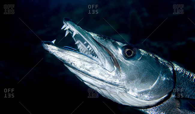Close-up of Great barracuda - Offset