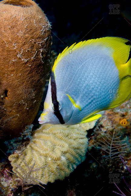 Spot fin butterfly fish on reef