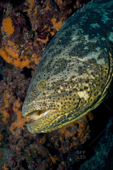 Goliath grouper from the Offset Collection