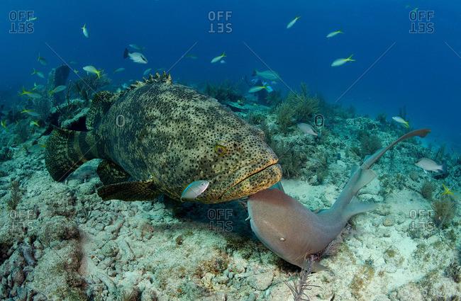 Goliath grouper and nurse shark