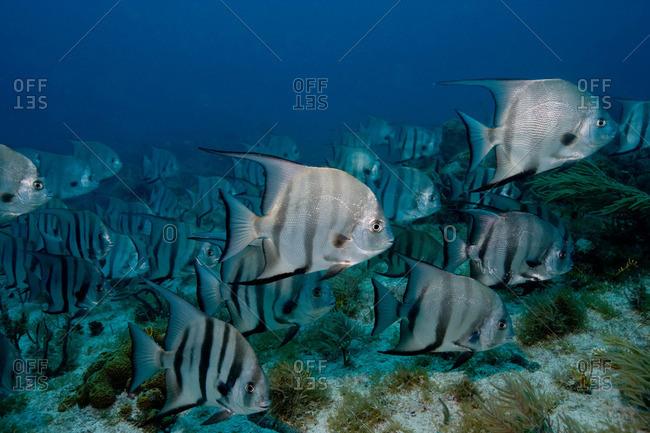 School of Atlantic spadefish