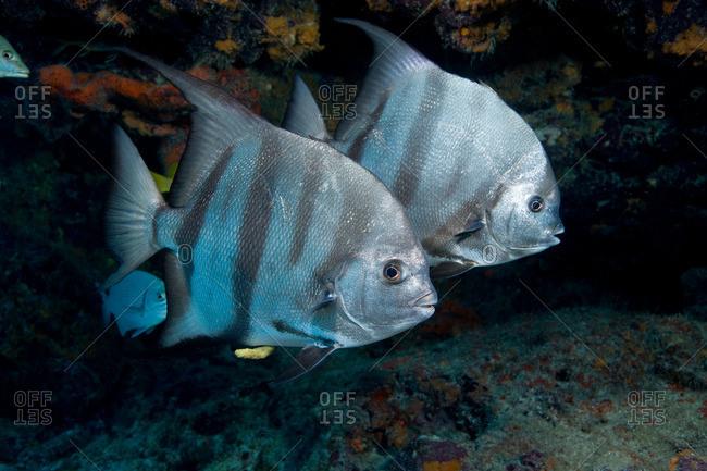 Pair of Atlantic spadefish