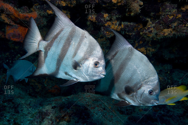 Pair of Atlantic spadefish
