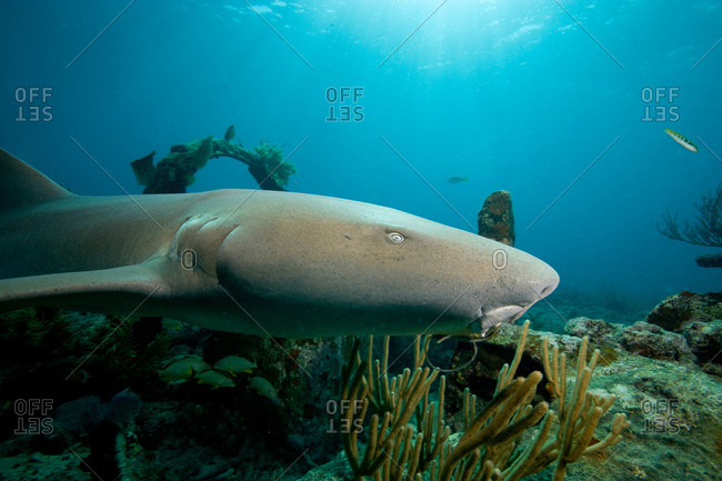 Nurse shark above wreckage
