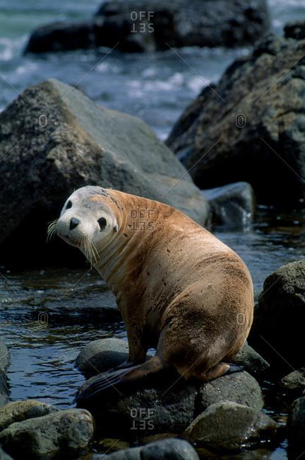 Australian sea lion - Offset Collection