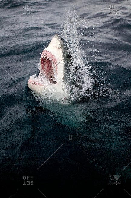 Great white shark and bait