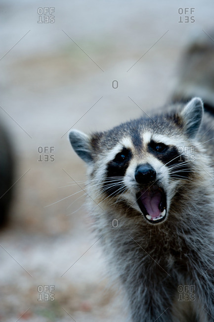 Raccoon behavior from the Offset Collection