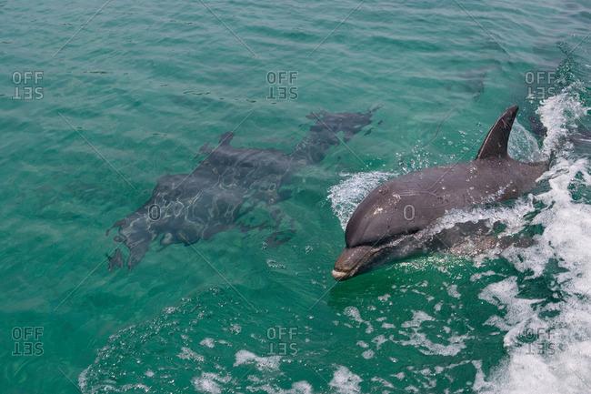 Swimming dolphin