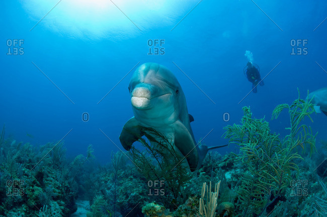 Bottlenose dolphin with diver